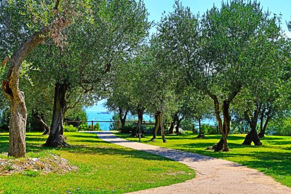 Italien Gardasee Sirmione Olivenbaeume