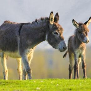 3 Stunden Eselwanderung im Rothaargebirge mit Picknick & Eselführerschein nur 25€