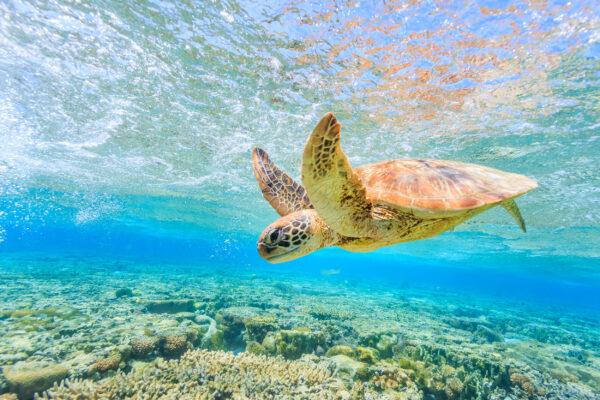 Schildkroete Unterwasser