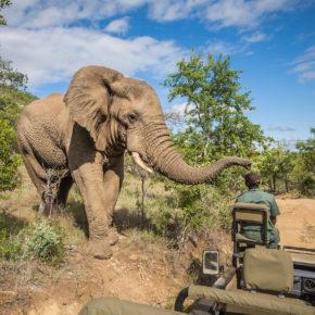 Südafrika Kruger Nationalpark Elefant