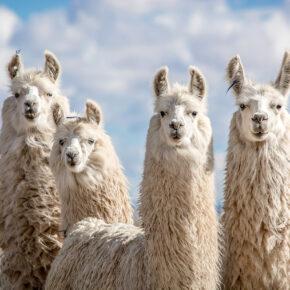 Vier Lama Freunde