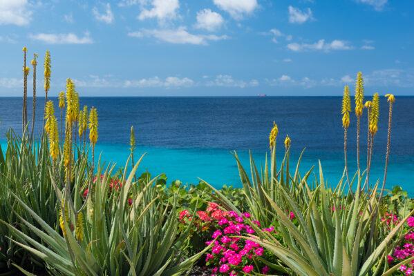 Curacao Aloe Vera