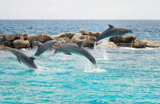 Curacao Delfine