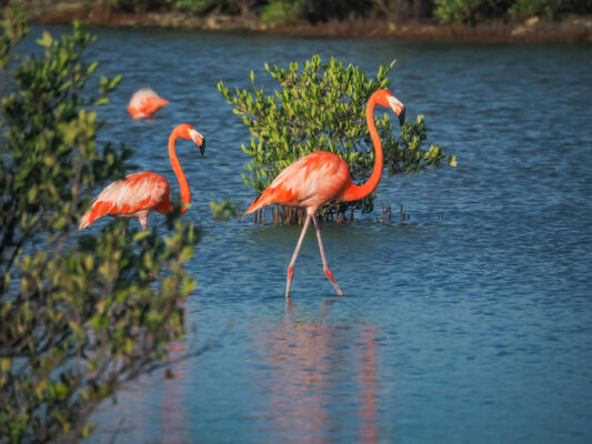 Curacao Jan Kok Salt Plans Flamingos