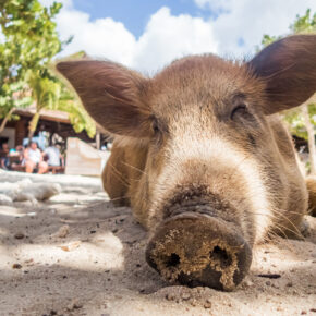 Curacao Porto Mari Beach Schweinchen