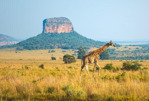 Südafrika Mapungubwe Nationalpark Giraffe