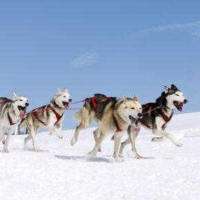 Huskysafari in Lappland: 5 Tage inkl. Flug, Transfer, Hotels & Frühstück für 999€