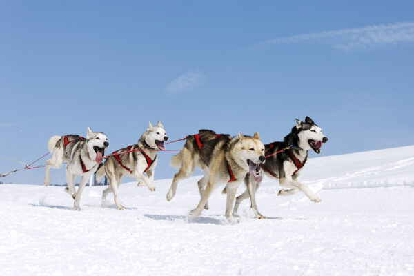 Husky Hunde rennen