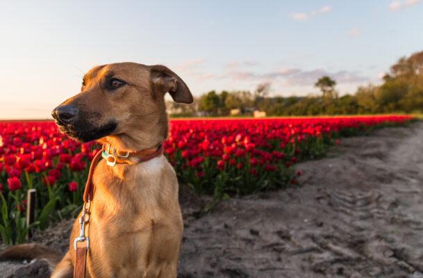 Niederlande Hund Tulpen Wiese