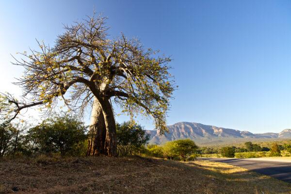 Südafrika Baobab Baum