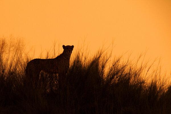 Südafrika Cheetah Gepard