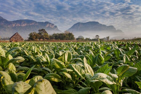 Kuba Havanna Tabak Plantage