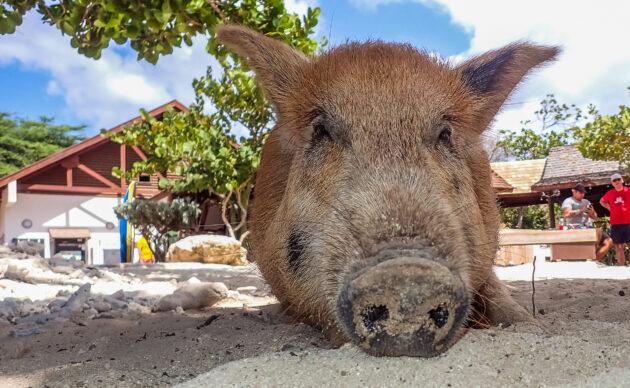 Curacao Porto Mari Schweinchen
