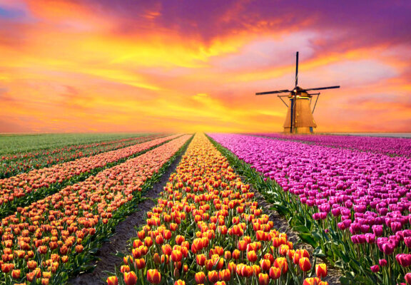 Niederlande Tulpenfeld