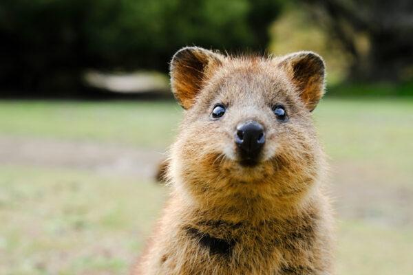 Australien Rottnest Island Quokka