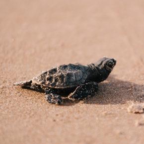 Menschenleere Strände in Brasilien: Knapp 100 gefährdete Schildkröten-Babys geschlüpft