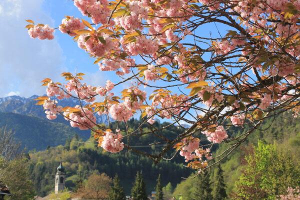 Deutschland Berchtesgaden Kirschblüten