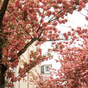 Kirschblüte zu Hause statt in Japan: Die neun schönsten Orte für Hanami im eigenen Land