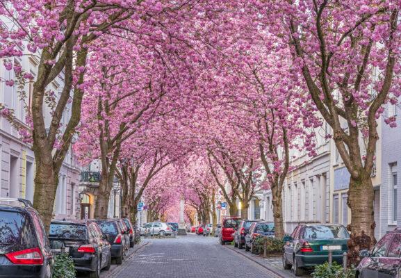 Deutschland Bonn Kirschblüte
