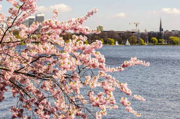 Deutschland Hamburg Kirschblüte