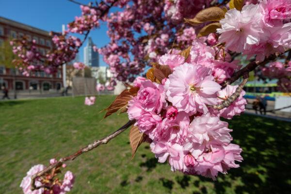 Deutschland Leipzig Kirschblüte
