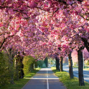 Deutschland Magdeburg Kirschblüte