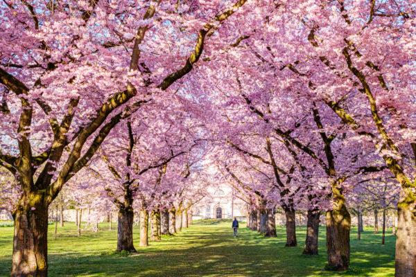 Deutschland Schwetzingen Kirschblüte