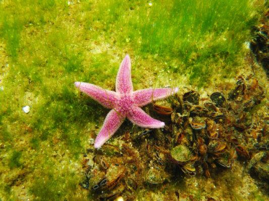 Usedom Urlaub: Tauchen Seestern