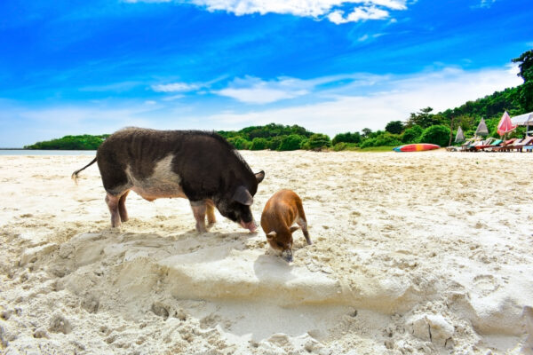 Thailand Koh Madsum Schweine