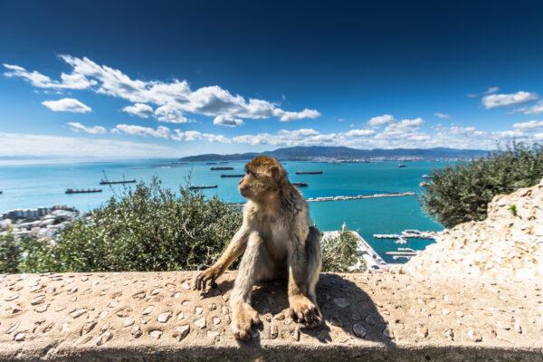 Gibraltar Barbary Macaque Affe